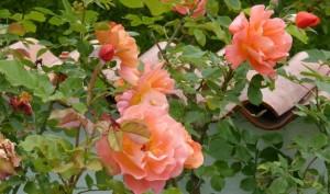 Rose garden in Westerland